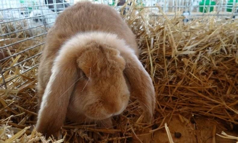 Рыжий кролик описание пород