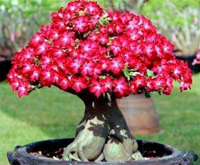 Адениум обесум (adenium obesum): описание и фото, выращивание из семян и черенков, а также уход за растением в горшке в домашних условиях и в открытом грунтедача эксперт