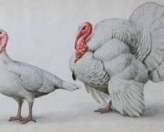 Белые широкогрудые индюки: описание породы, кормление и уход