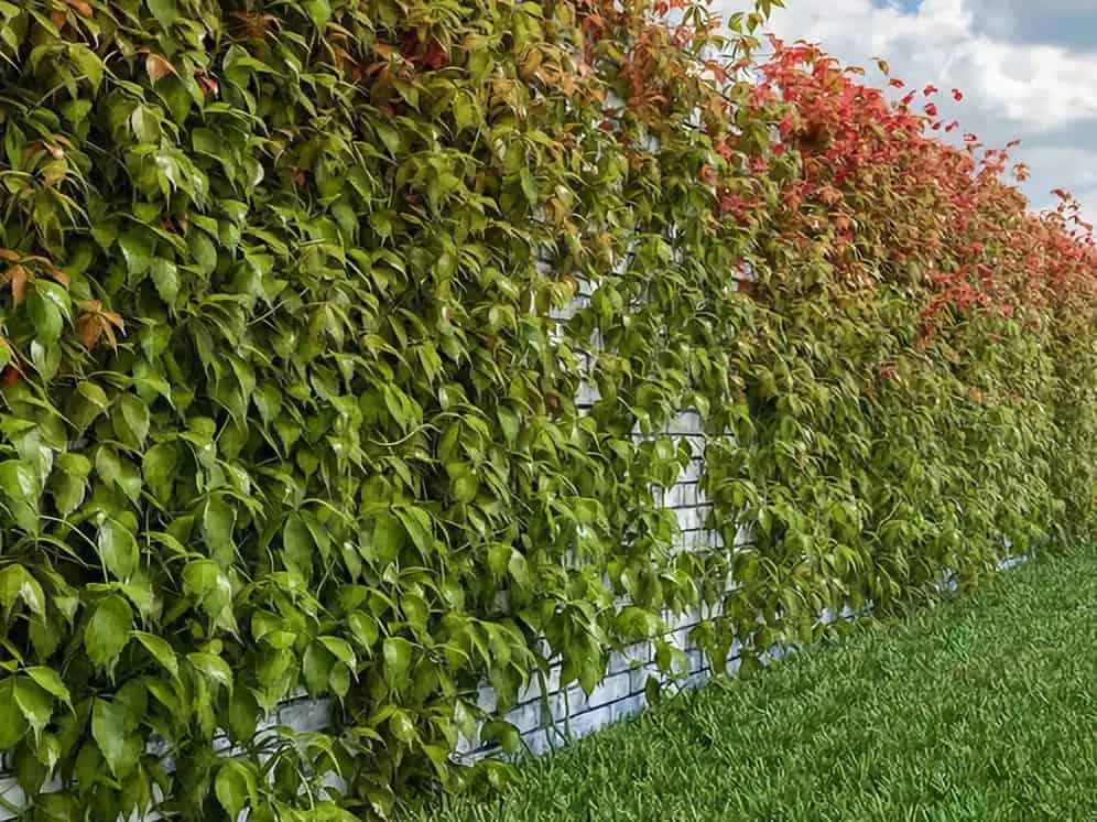Девичий виноград: выращивание из семян, посадка и уход в открытом грунте, фото