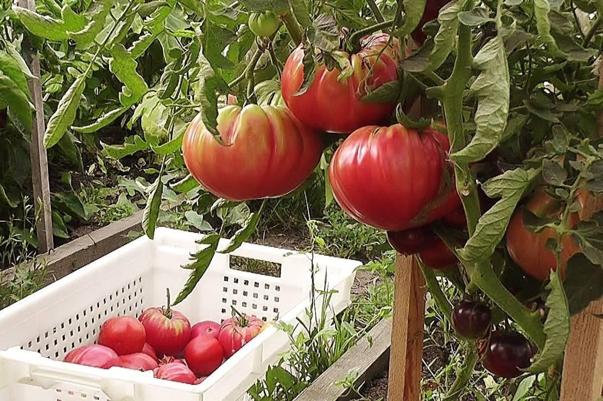 Выращивание огромных томатов «розовый гигант», их характеристика и описание