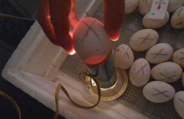 Как проводить овоскопирование куриных яиц :: syl.ru