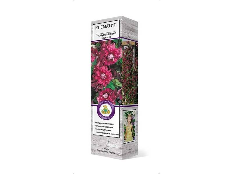 Клематис пурпуреа плена элеганс: описание сорта и его характеристика, размер цветка, фото + видео