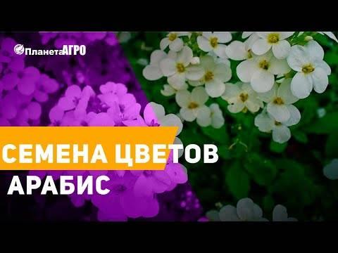 Цветы арабис: фото растений с описанием, посадка семенами и уход за цветами