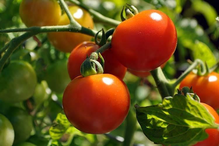 Какая температура должна быть в теплице для огурцов и помидоров