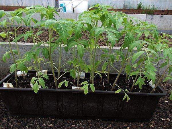 Рассада томатов бледная и тонкая что делать?