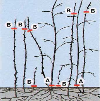 Как правильно обрезать малину осенью, весной, летом и когда проводить обрезку ремонтантной малины