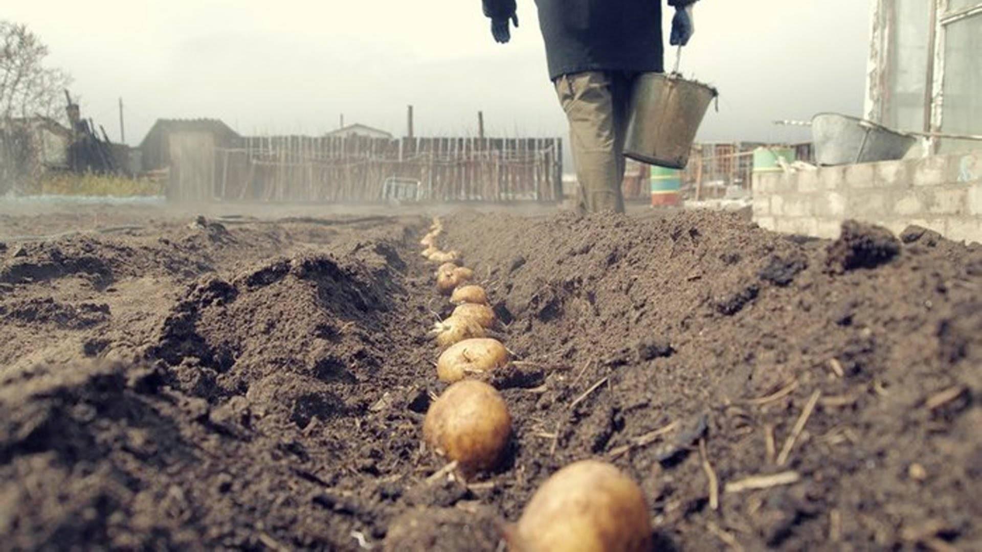 Какое оптимальное расстояние при посадке картошки между лунками