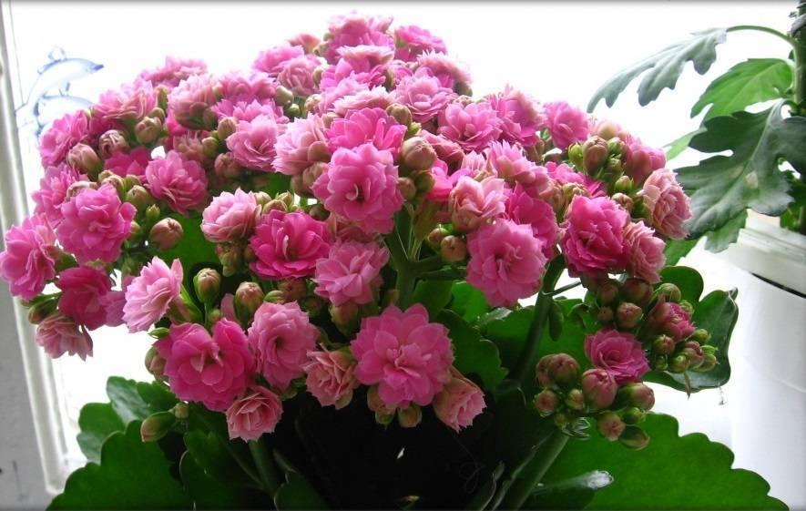 Цветущее каланхоэ перестало радовать своими бутонами: как заставить цвети растение?