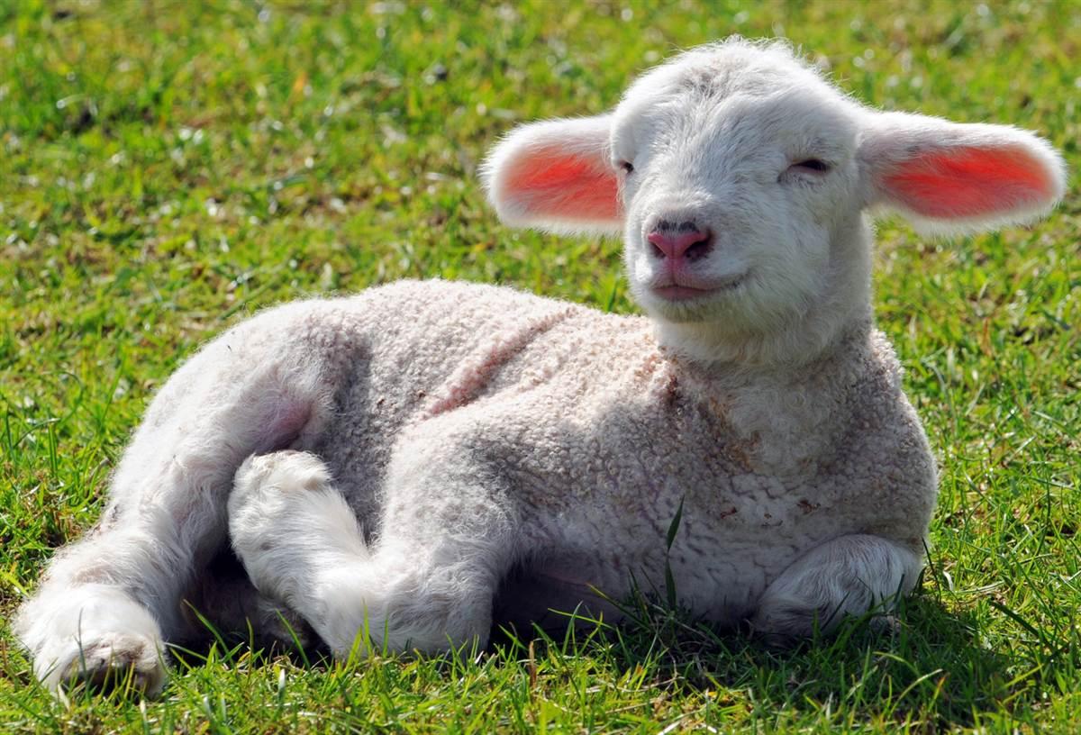 Как выкормить ягненка без овцы: алгоритм