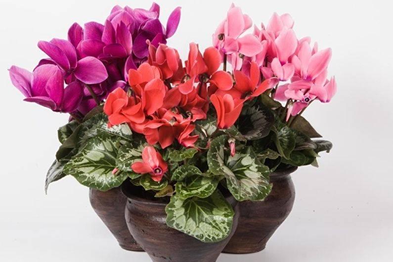 Цветок персидский цикламен: фото, выращивание и уход за ним в домашних условиях