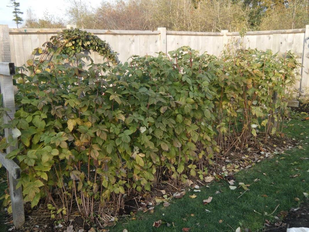 Пересадка садовой малины на новое место: сроки, пошаговая инструкция