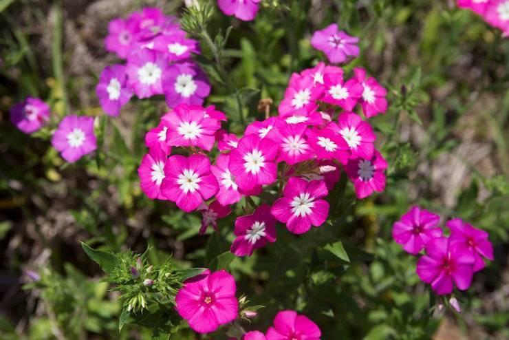 """Флокс """"друммонда"""": выращивание из семян, посадка и уход + фото"""