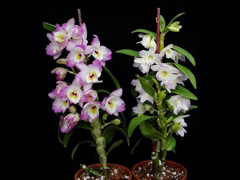 Пересадка орхидеи дендробиум и уход в домашних условиях, видео и фото, как рассаживать