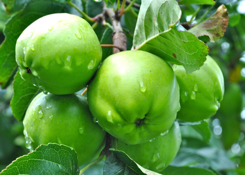 Описание сорта яблони брянское: фото яблок, важные характеристики, урожайность с дерева