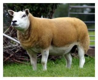 Овцы тексель: особенности породы, преимущества и недостатки