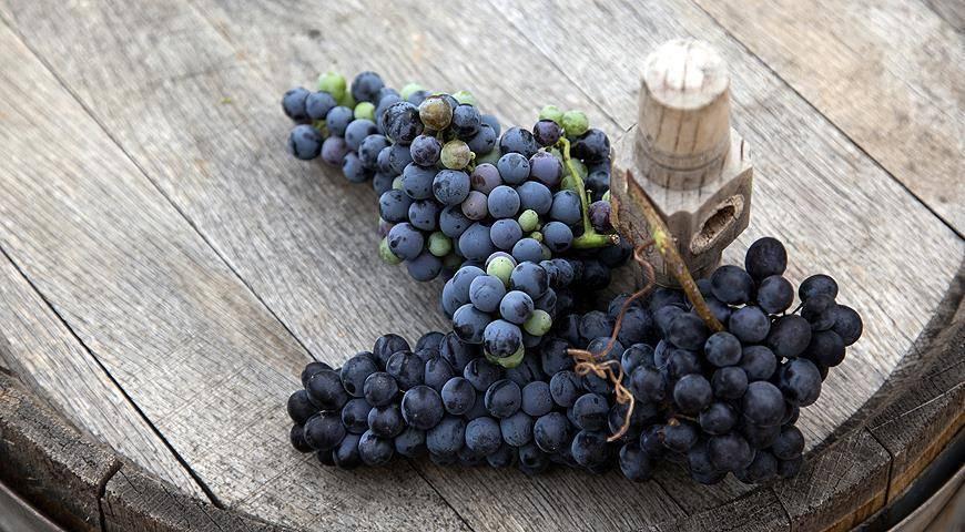 Виноград северный: что нужно знать о нем, описание сорта, отзывы