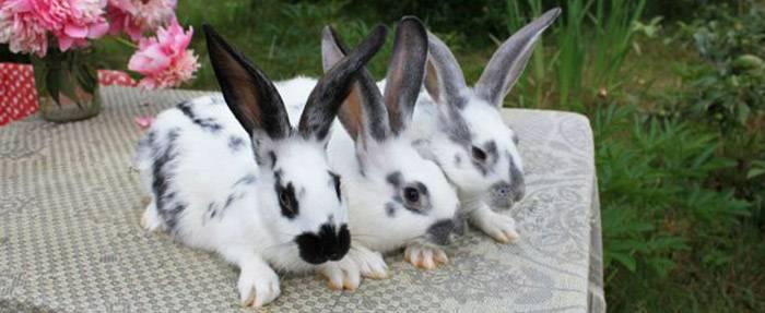 Кролики породы бабочка, описание, содержание и уход
