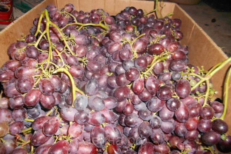Виноград шахтер - высокий урожай при минимальном уходе