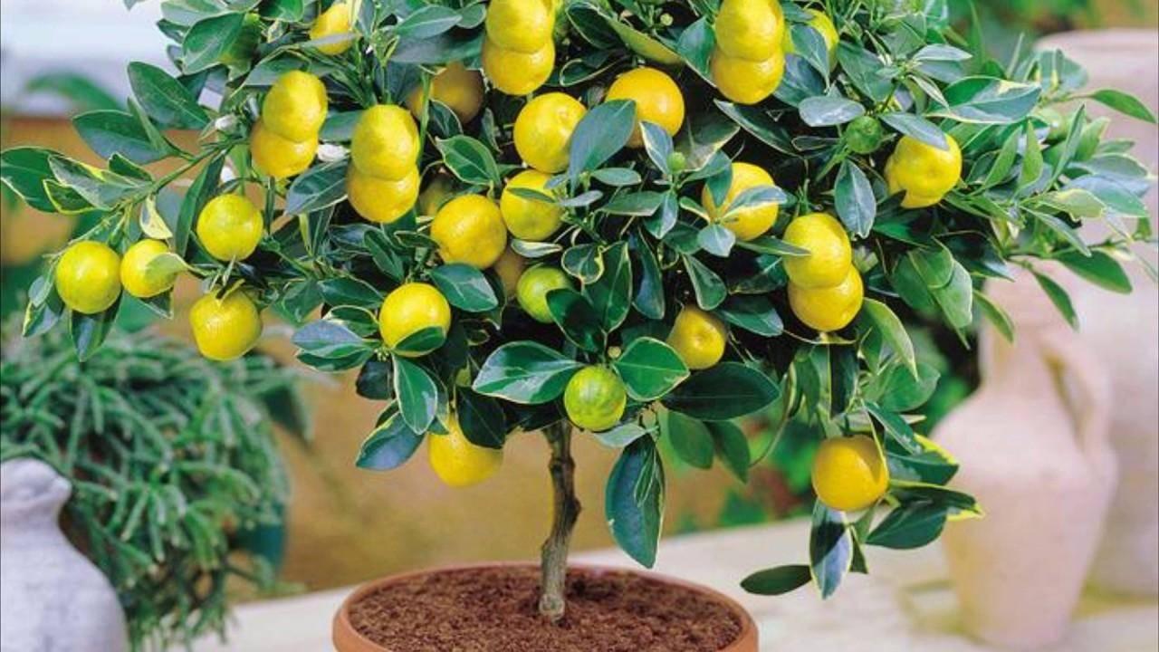 Можно ли пересаживать лимон во время цветения