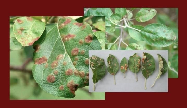 Ржавые листья на яблоне и борьба с ними: как лечить