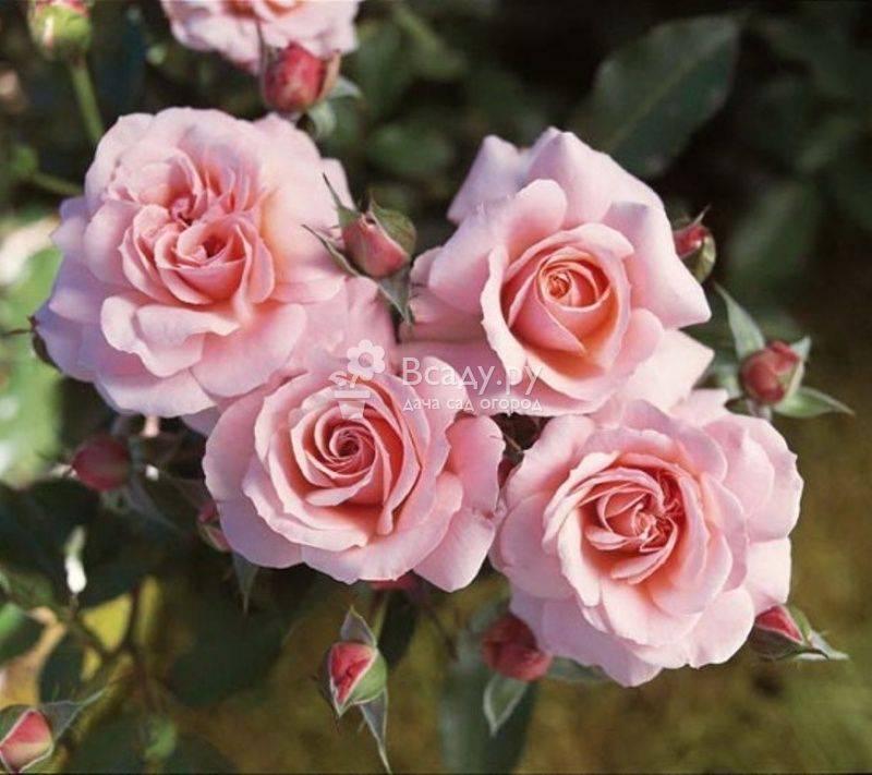 Домашняя роза (53 фото): уход в домашних условиях в горшке, выращивание декоративной, как ухаживать после покупки, видео