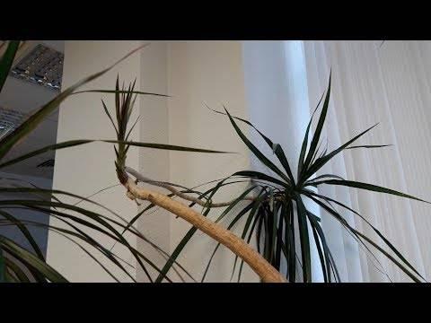 Драцена маргината - выращивание и особенности ухода