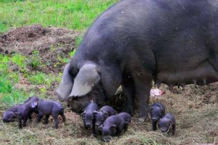 Миргородские свиньи – нежное сало эталонного качества