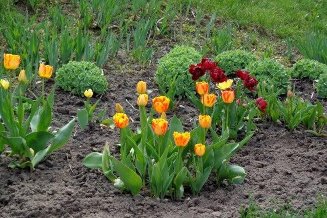 Посадка тюльпанов в 2020 году: когда сажать, сроки