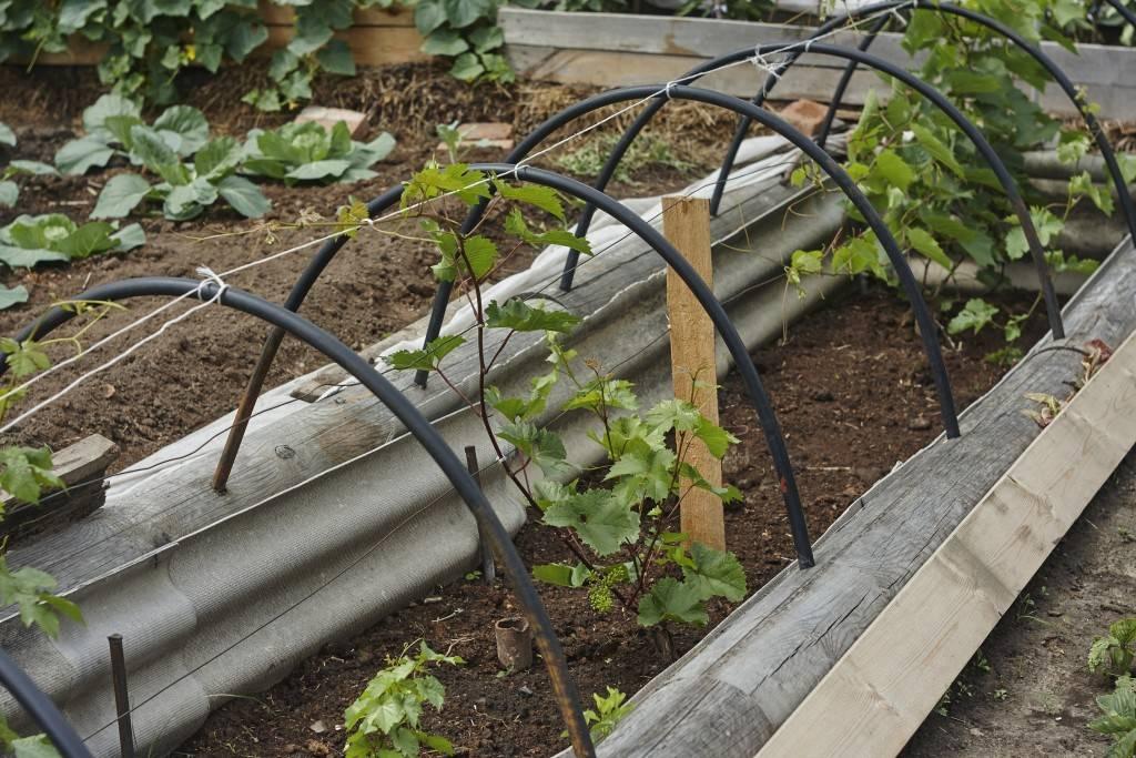 Подробное руководство посадки винограда разных сортов с советами опытных садоводов