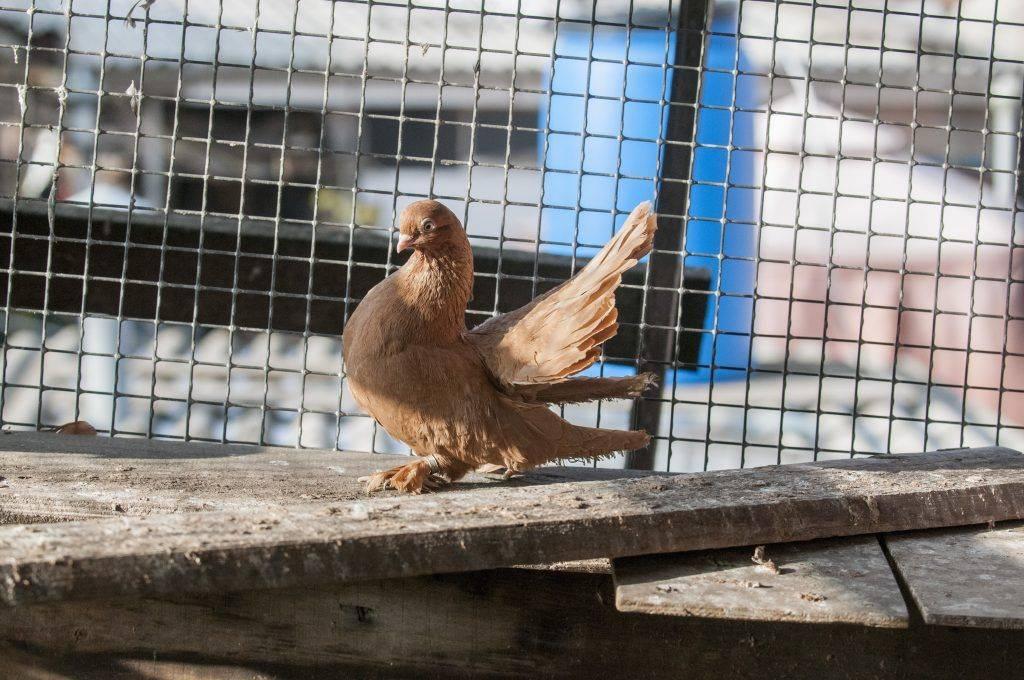 Сизый голубь: фото, описание породы — selok.info