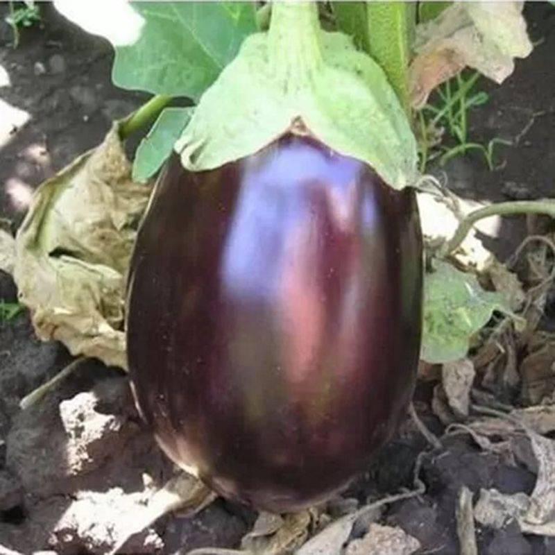 Галина баклажан: описание, выращивание, уход, фото