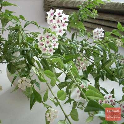 Хойя лобби (hoya lobbii): фото цветка, подробное описание внешнего вида и различных методов выращивания, советы по правильному уходудача эксперт