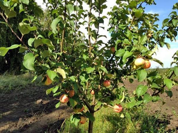 Сорт яблони московская грушовка: описание плодового дерева, выращивание, фото и отзывы садоводов