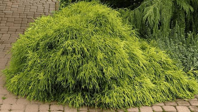 Кипарисовик лавсона колумнарис (chamaecyparis lawsoniana columnaris)