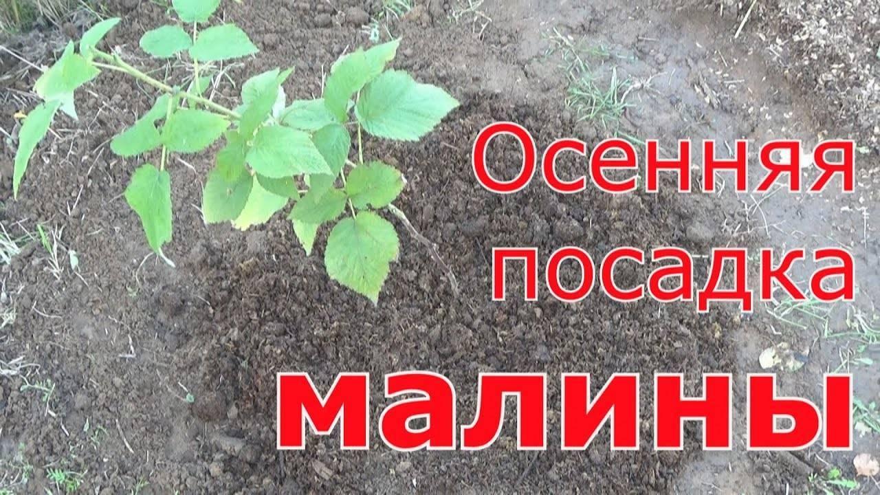 Пересадка малины осенью на новое место - в каком месяце, как правильно