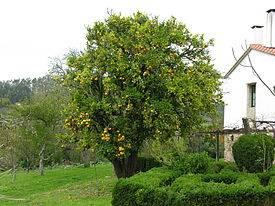 Сбор урожая и урожайность апельсинового дерева