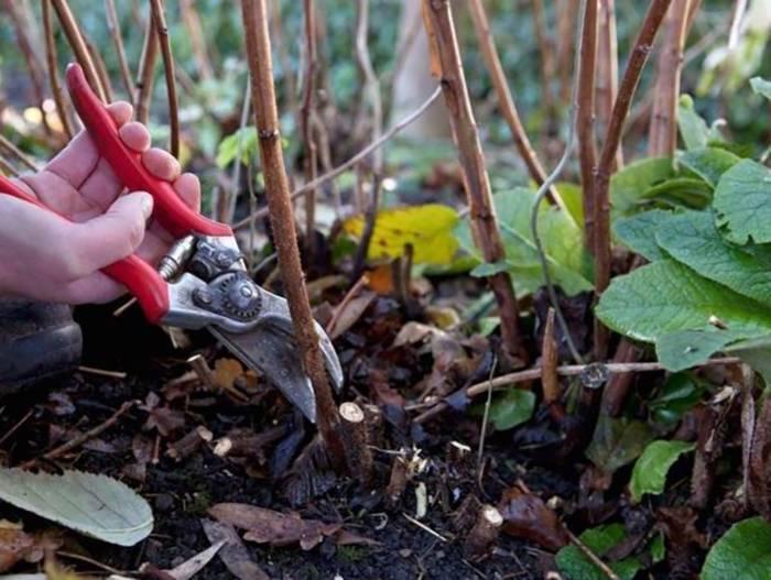 Уход за малиной осенью – подготовка к зиме по всем правилам