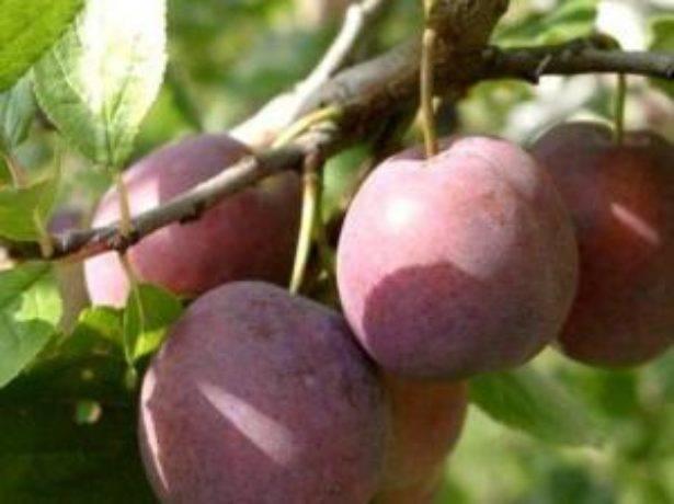 Слива волжская красавица — описание сорта, фото, отзывы садоводов