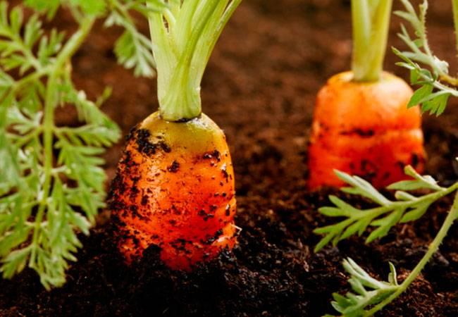 Чем подкормить морковь и свеклу в июне в открытом грунте