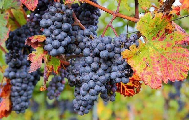 Обработка винограда осенью – крепкая лоза на зиму