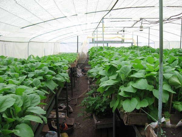 Баклажаны в теплице – выращивание и уход от посадки до урожая, формирование куста
