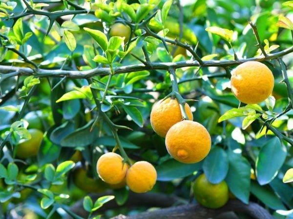 Лимон selo.guru — интернет портал о сельском хозяйстве
