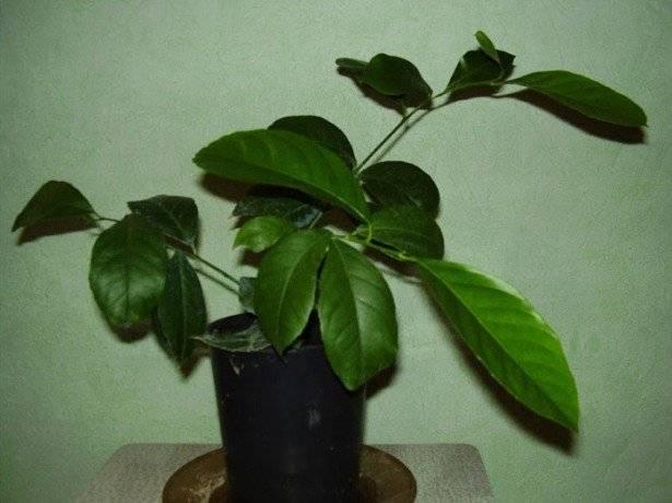Лимон сбросил листья и сохнет — что делать и почему сохнут ветки, ствол и кончики листьев в домашних условиях