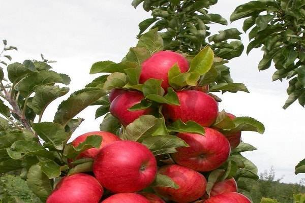 12 зимостойких сортов яблонь: вкусные для сибири, лучшие морозоустойчивые, полукультурка