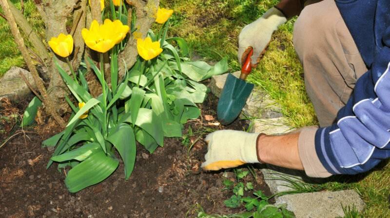 Почему не цветут тюльпаны: топ причин, и как их решать