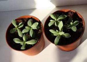 Выращивание эустомы в открытом грунте. особенности посадки и ухода за растением