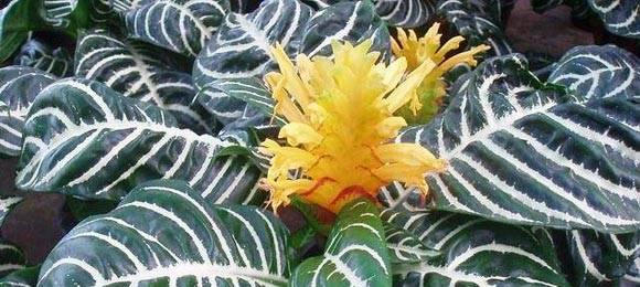 Великолепный комнатный цветок афеландра: фото и нюансы ухода