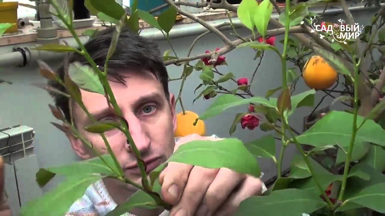 Уход за домашним лимоном selo.guru — интернет портал о сельском хозяйстве