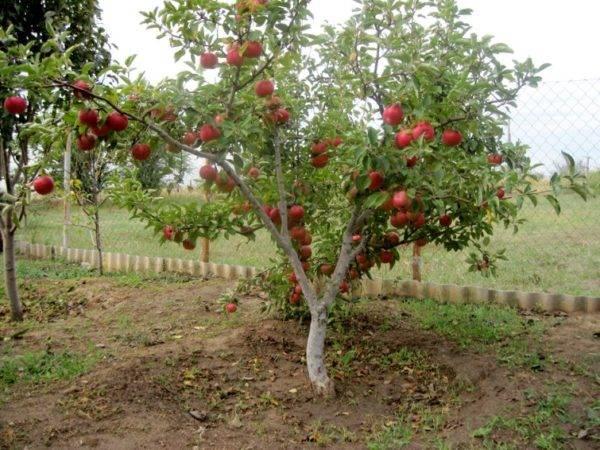 Сорта яблони для ленинградской области: 9 лучших сортов